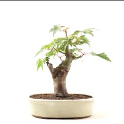 Bonsai Acer Palmatum 23 anos